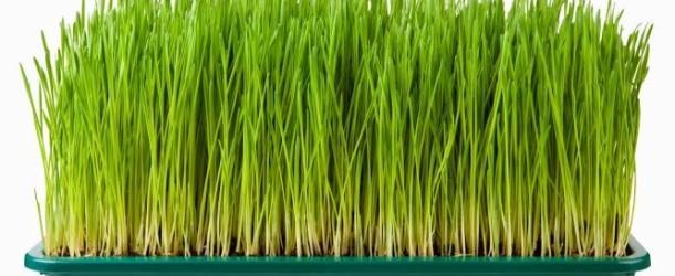 Właściwości i zastosowanie soku z trawy pszenicznej
