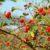 Dzika róża – najbogatsze źródło witaminy C