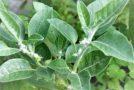 Tajemnicza roślina ashwagandha